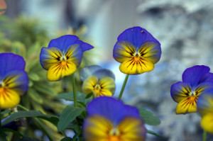 pansies-in-winter